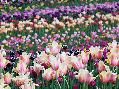 Champ de tulipes à Chicago